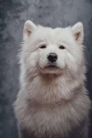 Pedigreed siberian samoyed dog against dark studio background