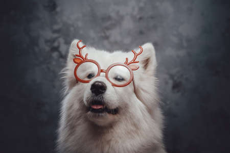 Russian samoyed dog with pure white fur and eyewear