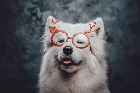 Samoyed doggy with reindeer glasses against dark background