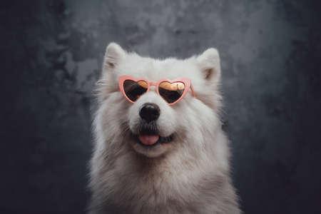 Stylish samoyed doggy with pink heart shaped sunglasses Фото со стока
