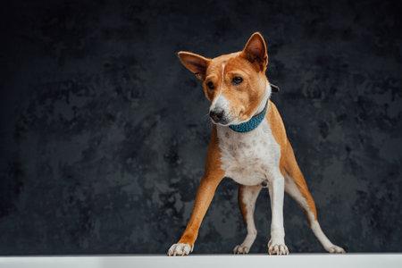 Orange purebred basenji dog standing on white table