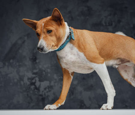 Basenji breed dog with orange fur against dark background Фото со стока