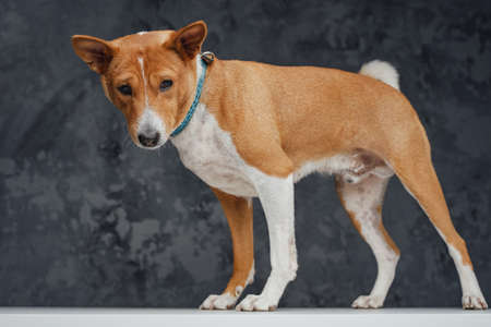Friendly basenji breed doggy standing on white table