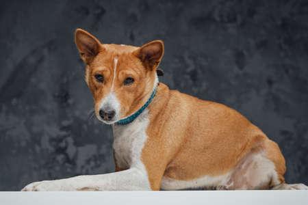 Friendly basenji breed doggy sitting on white table Фото со стока