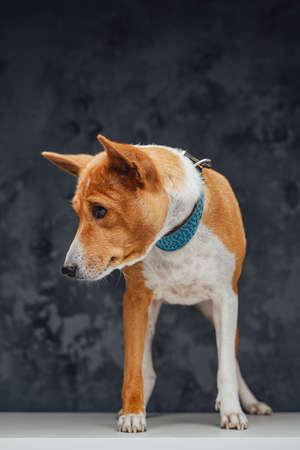 Orange purebred doggy basenji breed against dark background Фото со стока