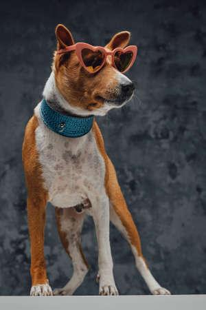 Fashion basenji doggy with sunglasses against dark background Фото со стока