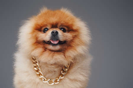 Pedigreed pomeranian dog with golden chain and fluffy fur Фото со стока
