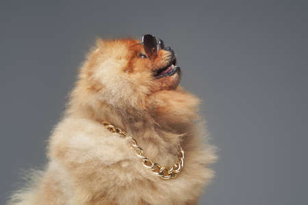 Peach pomeranian spitz dog with chain and sunglasses