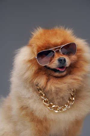 Fluffy pomeranian dog with golden chain and sunglasses Фото со стока