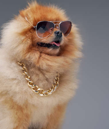 Tiny spitz dog with golden chain and cool sunglasses