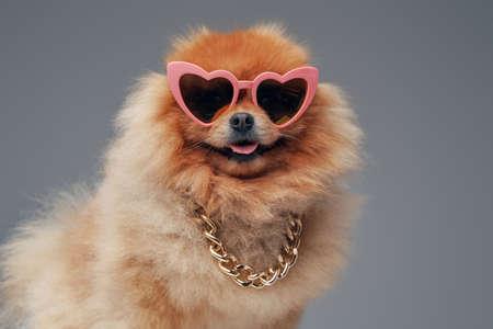 Orange pomeranian spitz dog with sunglasses and chain
