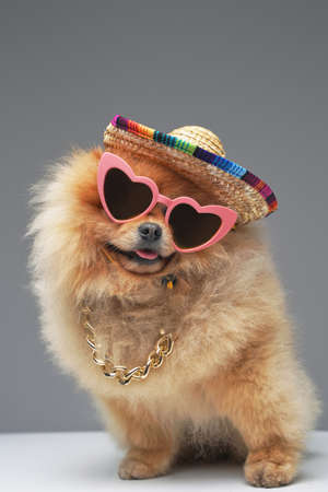 Funny fashion spitz dog with sunglasses chain and hat
