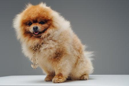 Peach fluffy pomeranian dog with golden dollar chain