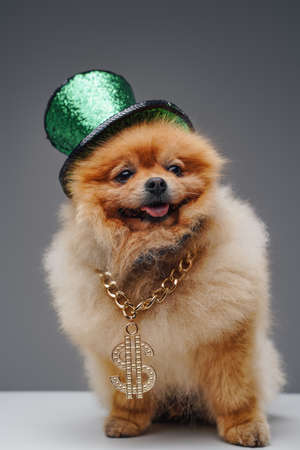 Pedigreed spitz dog with chain and green top hat