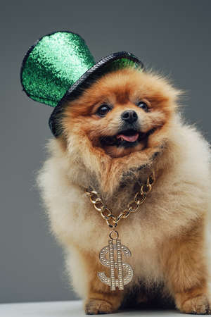 Adorable spitz dog with green top hat and golden chain Фото со стока