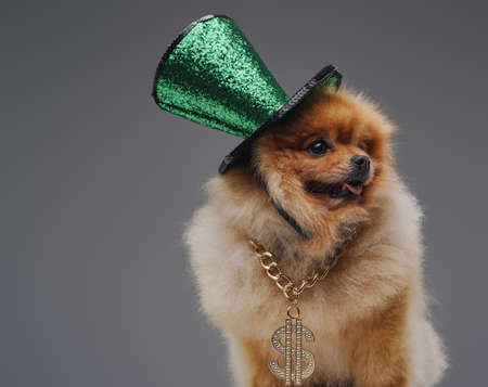 Portrait of peach furred spitz doggy with top hat and chain against gray background. Фото со стока