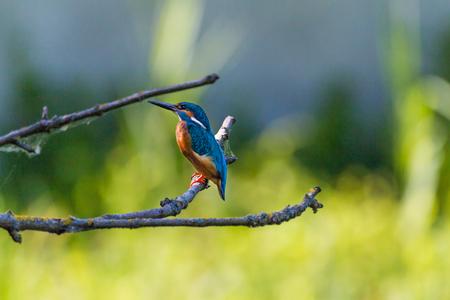 Kingfisher, Kingfisher Stock Photo