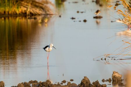 Black-winged stilt standing in water with a reflection Stock Photo