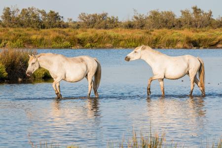フランス アルル カマルグ馬