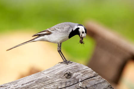 A white Wagtail in summer
