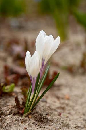 Crocus Spring Flowers.