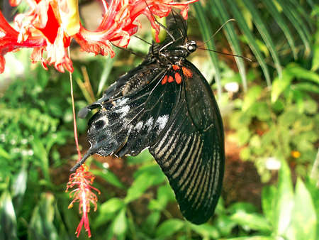 Nice black tropical butterfly drinking nectar from a red orchid Stock Photo - 997720