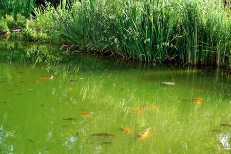 Beautiful pond with reed, Koi fish and crucuan goldfish Stock Photo - 1172880