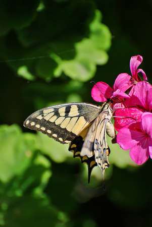 swallowtail: Swallowtail butterfly drinking from a flower