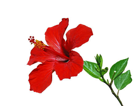 Red hibiscus flower with leaves isolated on the white Imagens