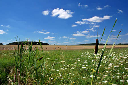 Bulrush reed in the front of landscape of field, meadow and forest photo