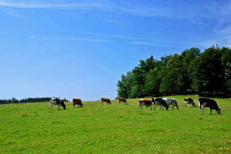 Herd of cows on the meadow with forest Stock Photo