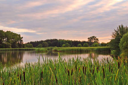 Pond with reed and bulrush by evening sunset