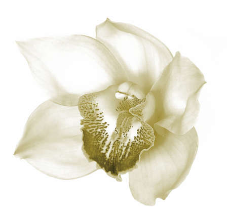 Beautiful orchid blossom shot in sepia isolated on white Stock Photo