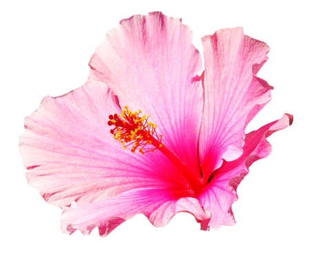 Pink hibiscus isolated on the white background photo