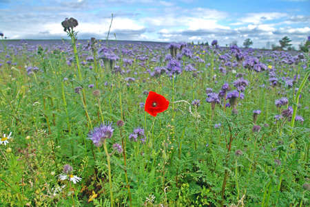 Single red poppy in the field of blue thrift Stock Photo - 2323699
