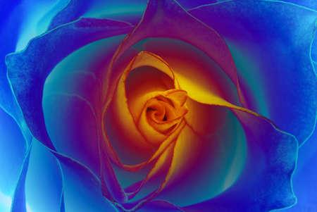 rosas naranjas: Esto aument� s�lo aparece en sus sue�os - flor de color azul con amarillo medio