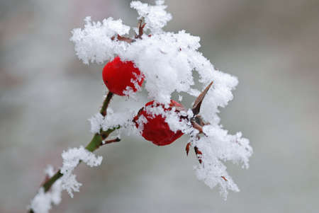 Wild rose fruits with snow cover in winter with shallow depth of field photo