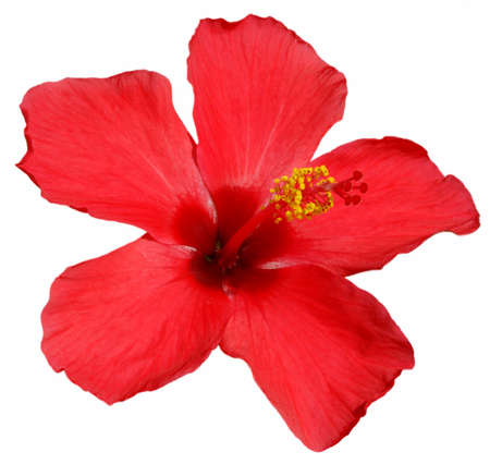 Detail of a red hibiscus blossom isolated  photo