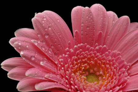 Close-up of colourful pink gerbera with dew drops against black background photo