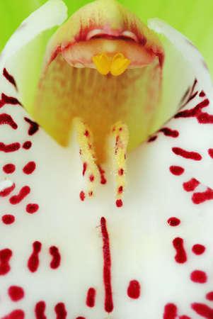 Green Cymbidium orchid macro - real detail of flower inner petals photo
