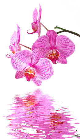 Beautiful orchid (Phalaenopsis) on thewhite background is reflecting in the water