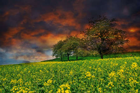 Beautiful sunset over the rape field with blooming trees in the spring Stock Photo - 3218854