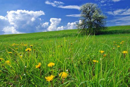 Bellissimo paesaggio primaverile con albero in fiore e prato pieno di denti di leone