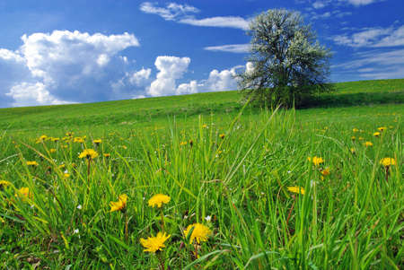 Beautiful spring landscape with tree in bloom and meadow full of dandelions Stockfoto