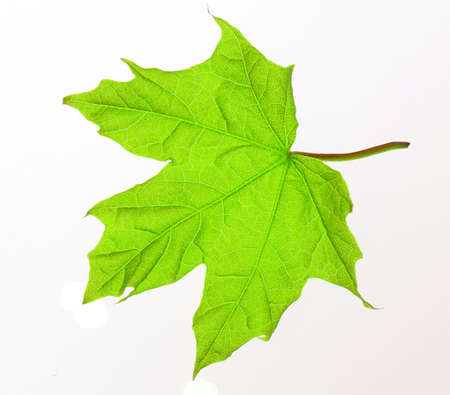 veiny: Verde fresco de hoja de arce blanco macro