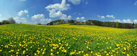 Beautiful spring panoramatic shot with a dandelion meadow Banque d'images