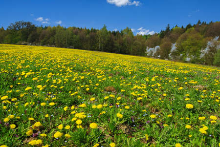 Beautiful summer field full of yellow blooming dandelions with a forest in the back Stock Photo - 3331280