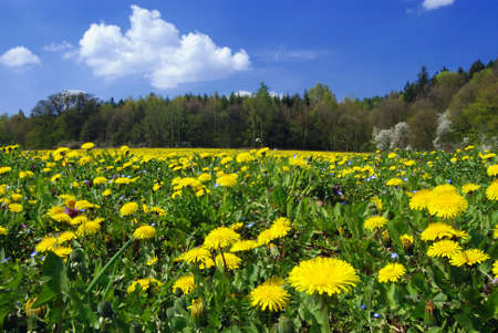 Beautiful summer field full of yellow blooming dandelions with a forest in the back Stock Photo - 3331293