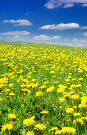 Beautiful summer field full of yellow blooming dandelions Stock Photo - 3331292