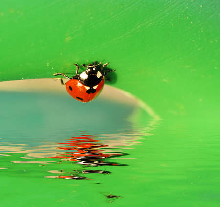 Small cute ladybird on a green leaf is reflecting in the water Stock Photo - 3330433